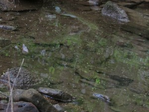 Hemlock needles in a stream