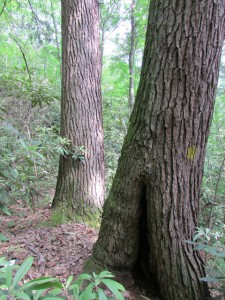 Two hemlock trunks in Blanton Forest