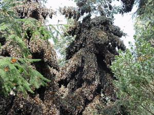 An oyamel fir covered in overwintering monarchs. From wikimedia commons.