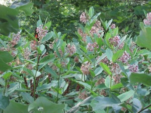 Milkweeds in flower - but no monarchs.